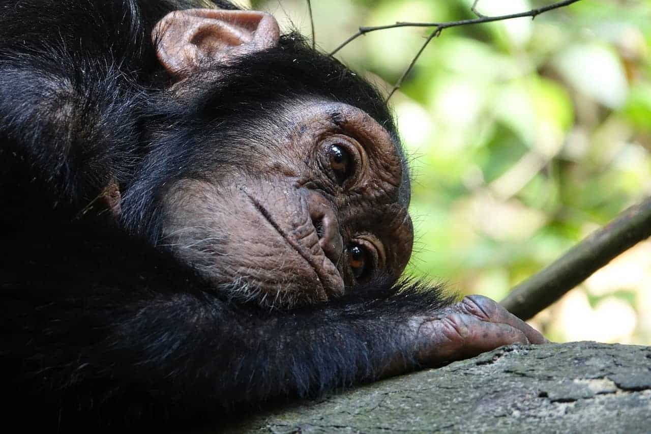 Chimpanzees adjust communication to fill another's knowledge gap