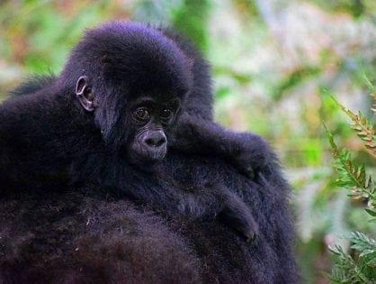 TV Host Ellen DeGeneres Helps Gorillas With A Conservation Centre In Her Name