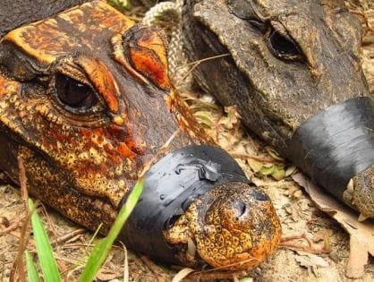 Are these mysterious orange cave-dwelling crocodiles developing into a new species?