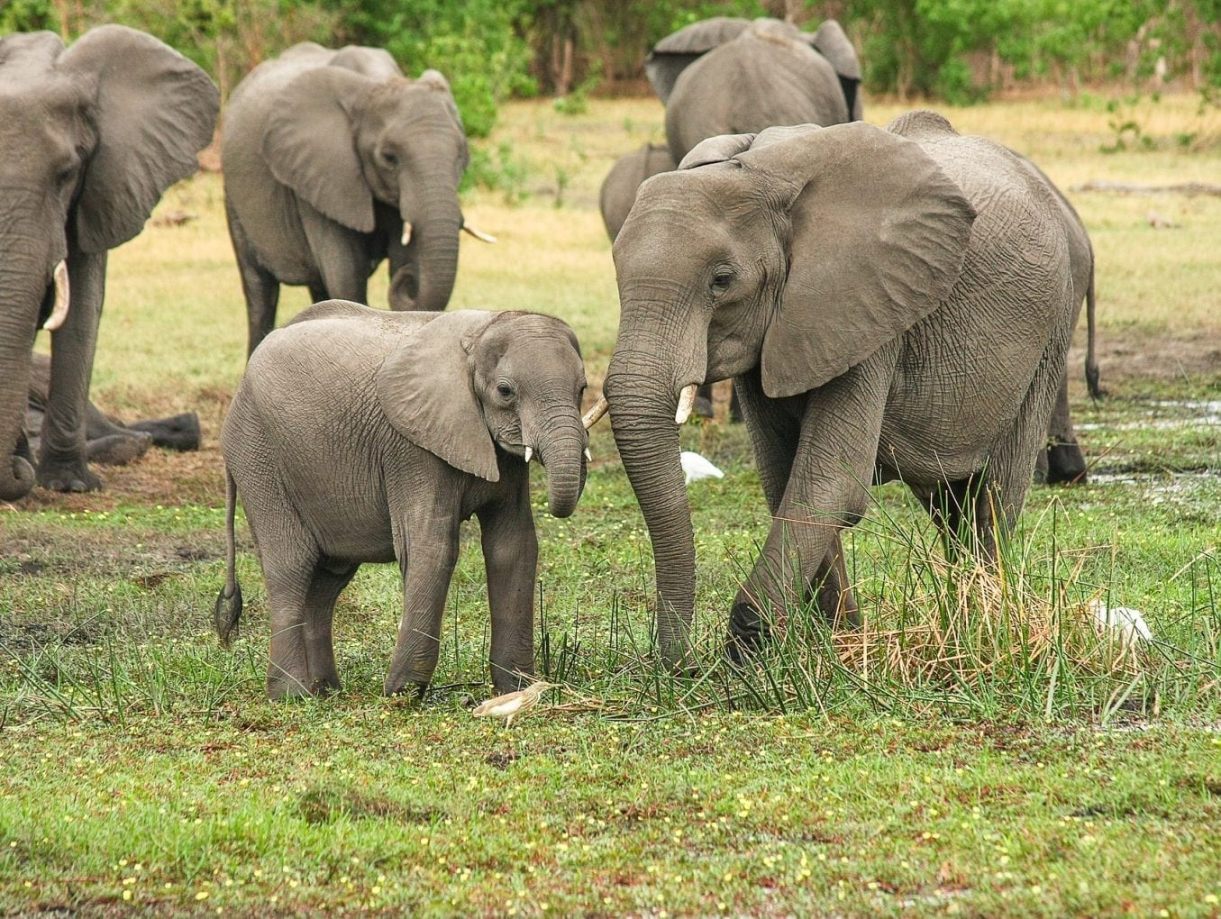 Comprehensive genetic study finds justification to recognise forest and savanna elephants as separate species
