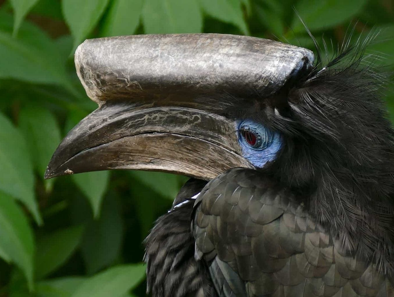 Bushmeat hunting threatens hornbills and raptors in Cameroon's forests, study finds