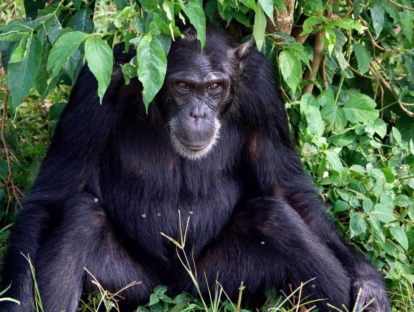What great apes feces tell us about human health and digestive disorders