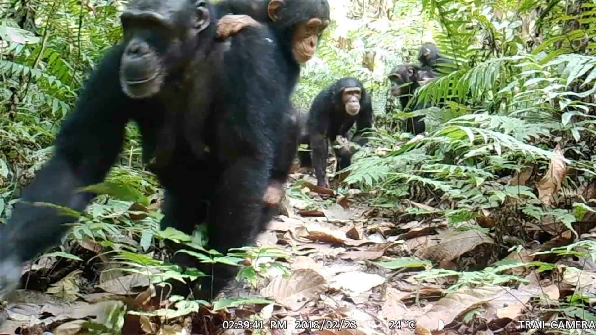 Large groups of Nigeria-Cameroon chimpanzees captured on camera trap footage in Tofala Hill Wildlife Sanctuary