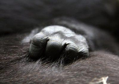gorilla-hand