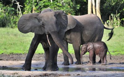 Size Matters: Forest Elephants Important For Ecosystems And Humans In West Central Africa