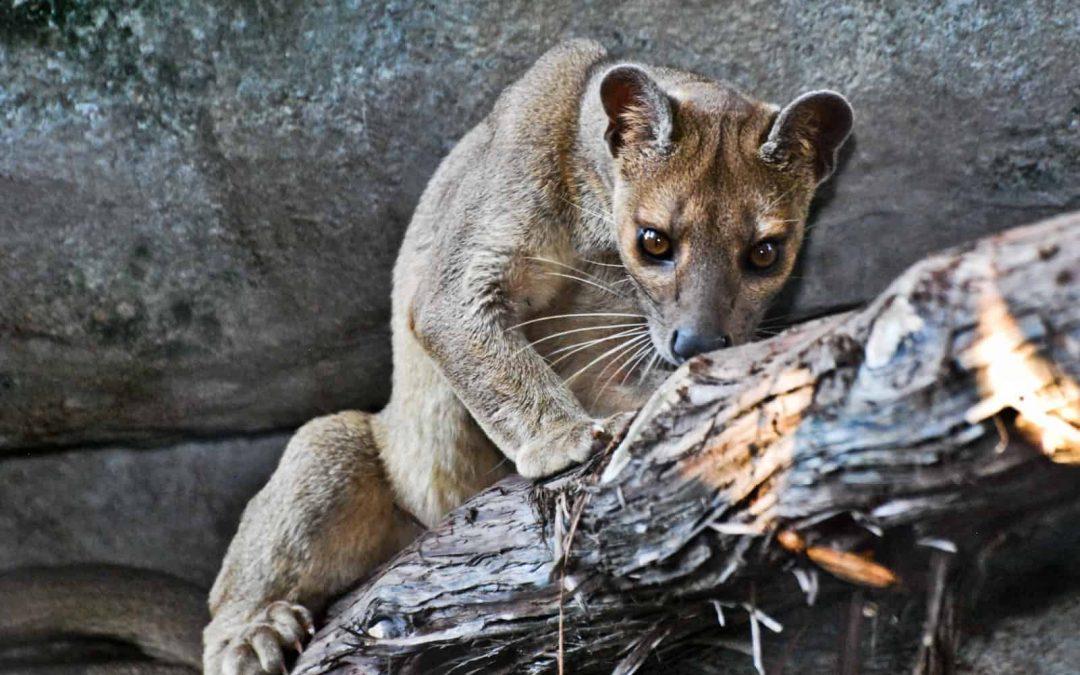 The fossa, Madagascar's rare top predator, caught on camera