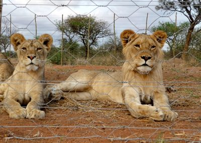 lions-saved-from-canned-hunting