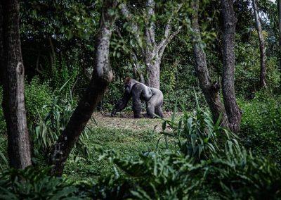 lowland-gorilla-silverback-small