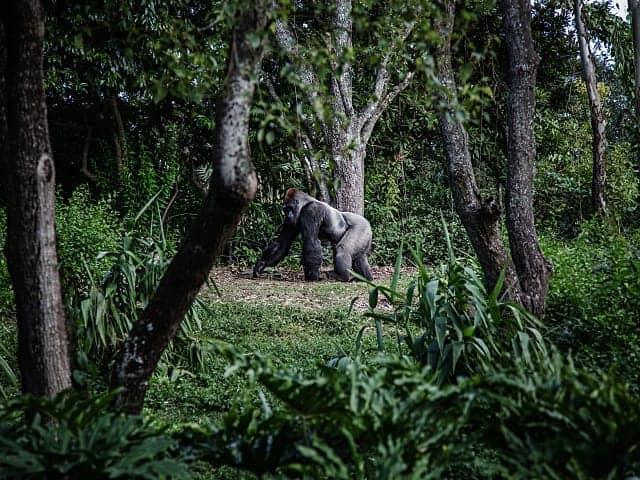 Gorilla Conservation in Deng-Deng National Park