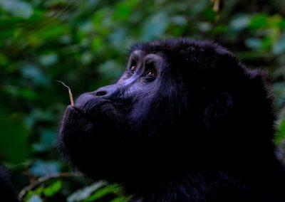 lowland-gorilla-small