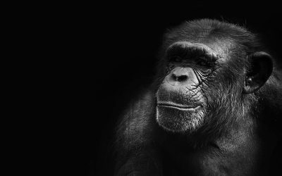 A chimpanzee cultural collapse is underway, and it's driven by humans