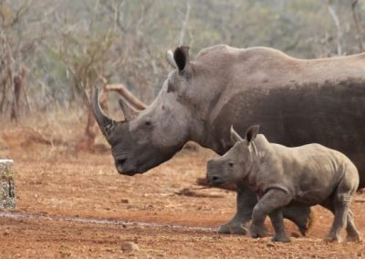 Rhino Poaching Awareness in South Africa