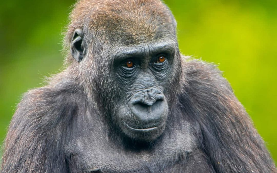 Complex gorilla societies shed light on roots of human social evolution