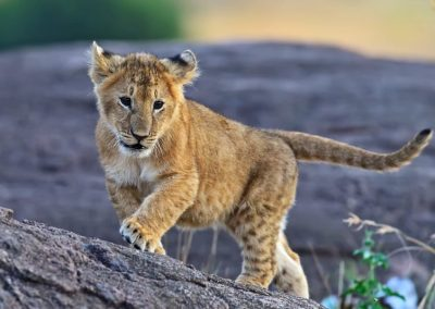 3-day-lion-conservation-safari-2