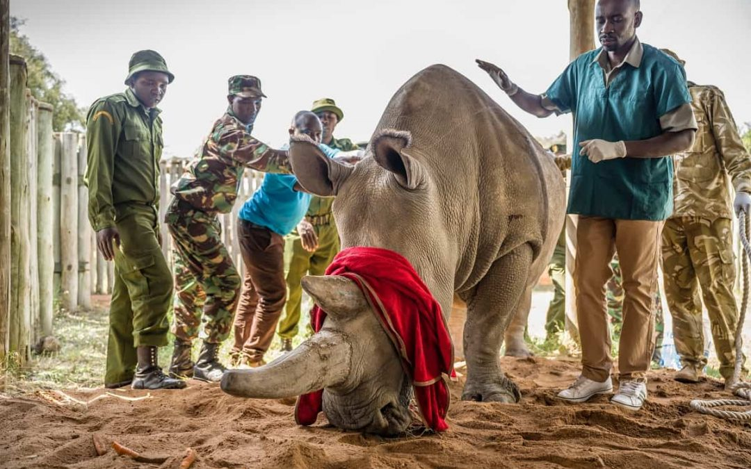 Successful Egg Harvest from the last 2 northern white rhinos may save the species