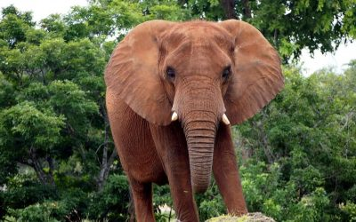 Debunking myths about the impact of elephants on large trees