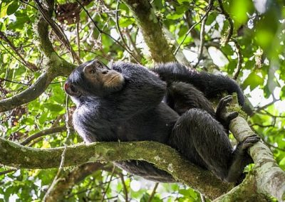 11-Days Wildlife, Gorilla and Chimpanzee Conservation Safari in Uganda