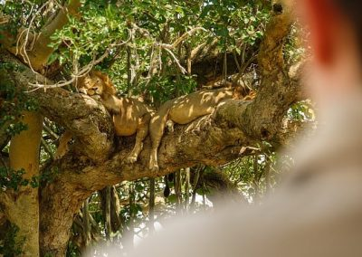 Tree lions of Queen Elizabeth National Park