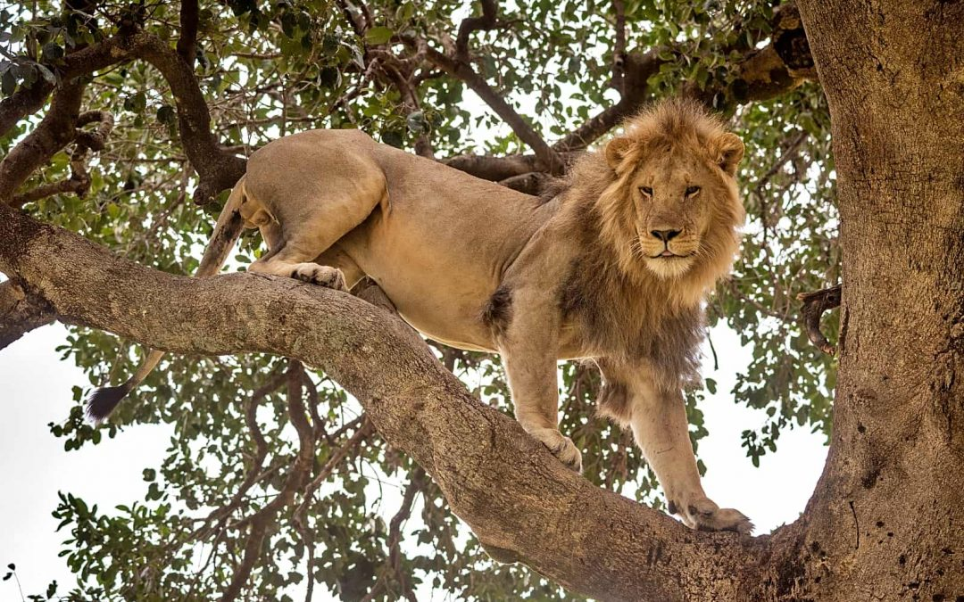 3-Day Lion Conservation Safari at Queen Elizabeth National Park