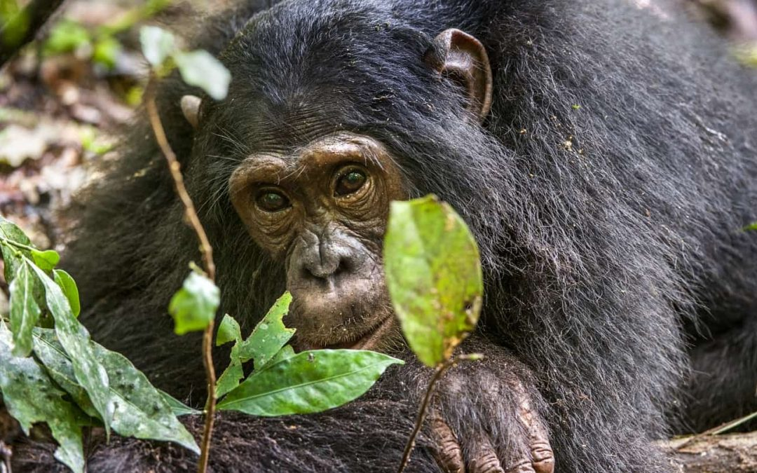 4-Day Chimpanzee Habituation and Conservation Experience