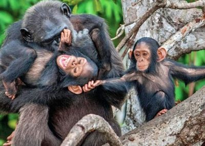 4-days-chimpanzee-habituation-experience-2