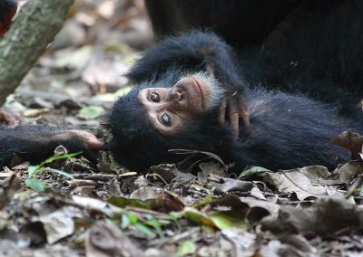4-days-chimpanzee-habituation-experience-5