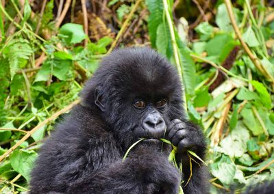 4-Day Mountain Gorilla Conservation Safari in Bwindi Impenetrable Forest National Park