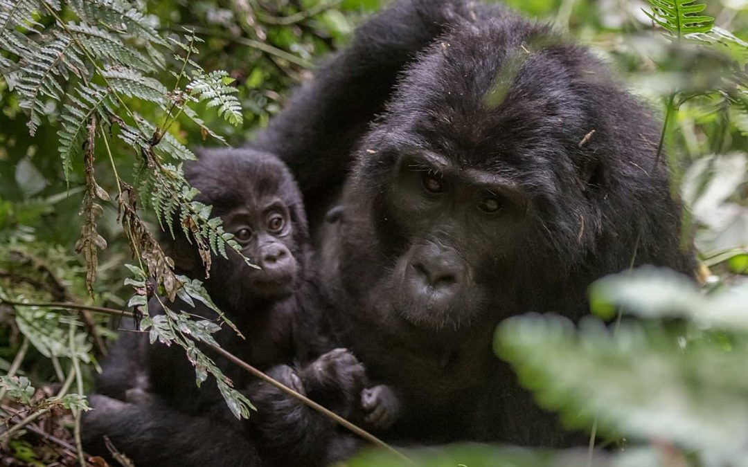 7-Day Tree Planting and Great Apes Conservation Safari in Uganda