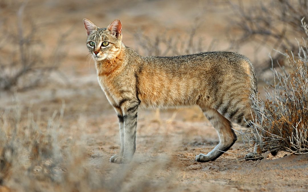 African wildcats under threat of hybridization by domestic and stray cats