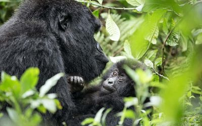 Global Mountain Gorilla Population Count Grows to 1,063