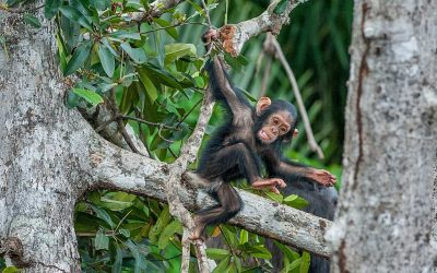 Urgent pan-Africa action plan launched by PASA to stop illegal chimpanzee trade as sanctuaries reach crisis capacity