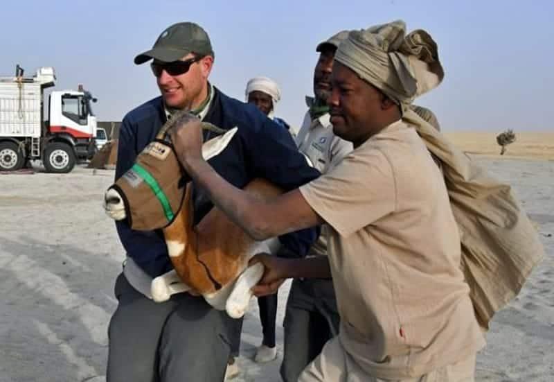 dama gazelle rescue in sahara