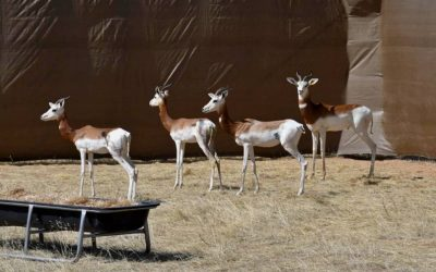 An extraordinary rescue mission deep in the Sahara captures four rare Dama gazelles and revives hopes of saving the species
