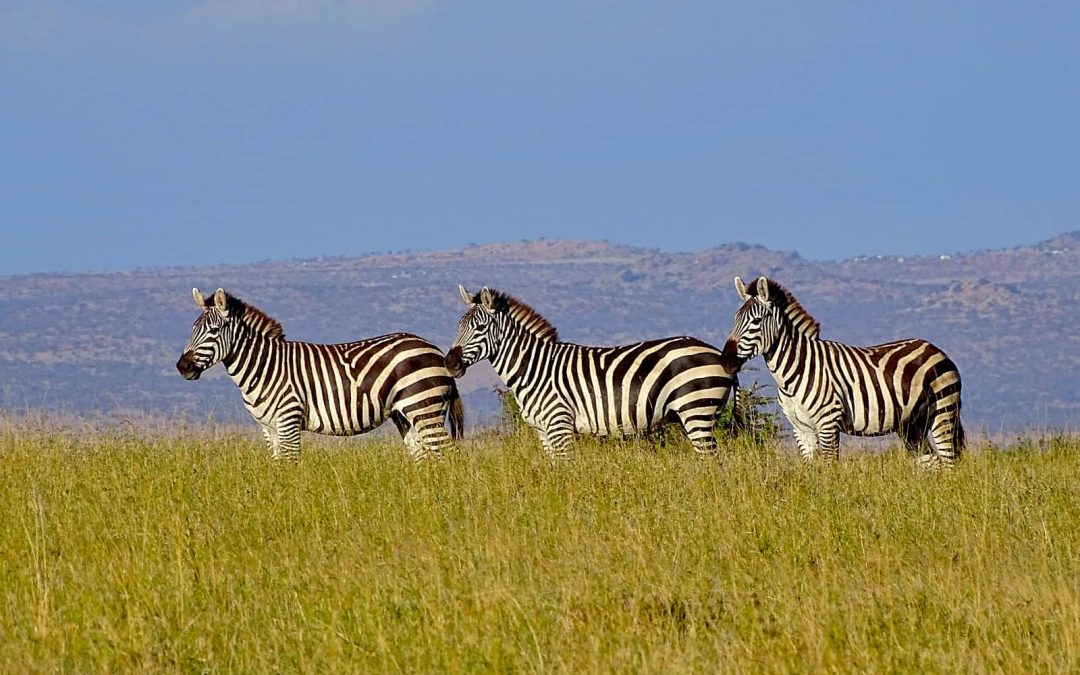 Growing Livestock Numbers Threaten One of the Last Refuges for Large Wild Herbivores in Kenya