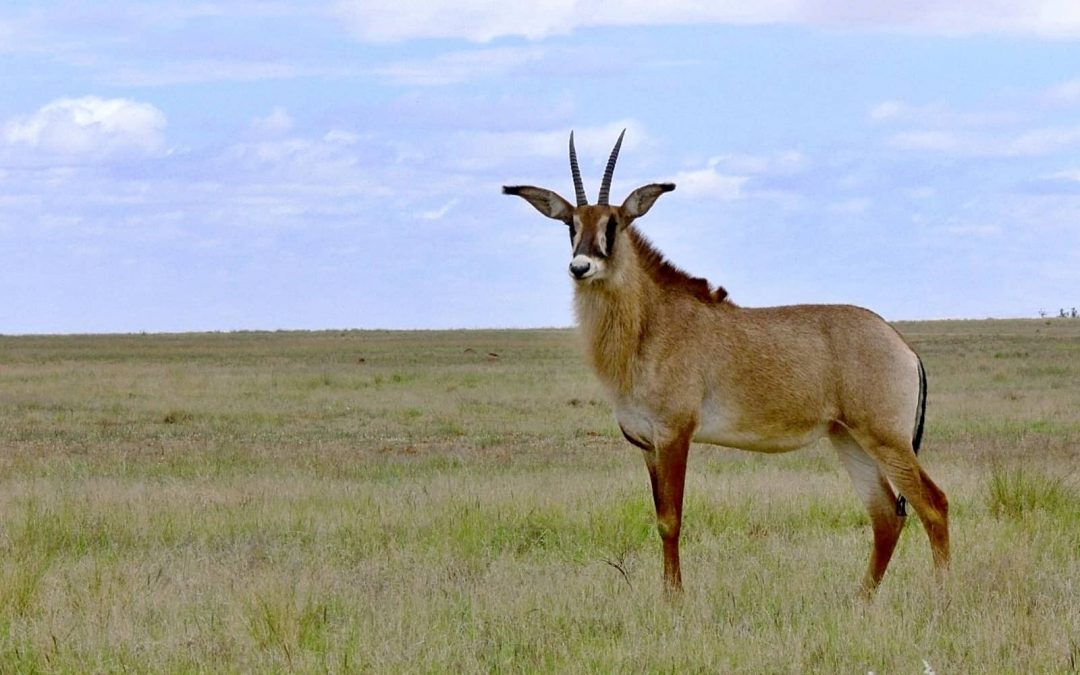 What Kenya must do to save its roan antelope population