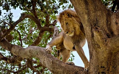 Lion conservation strategies start with good counts
