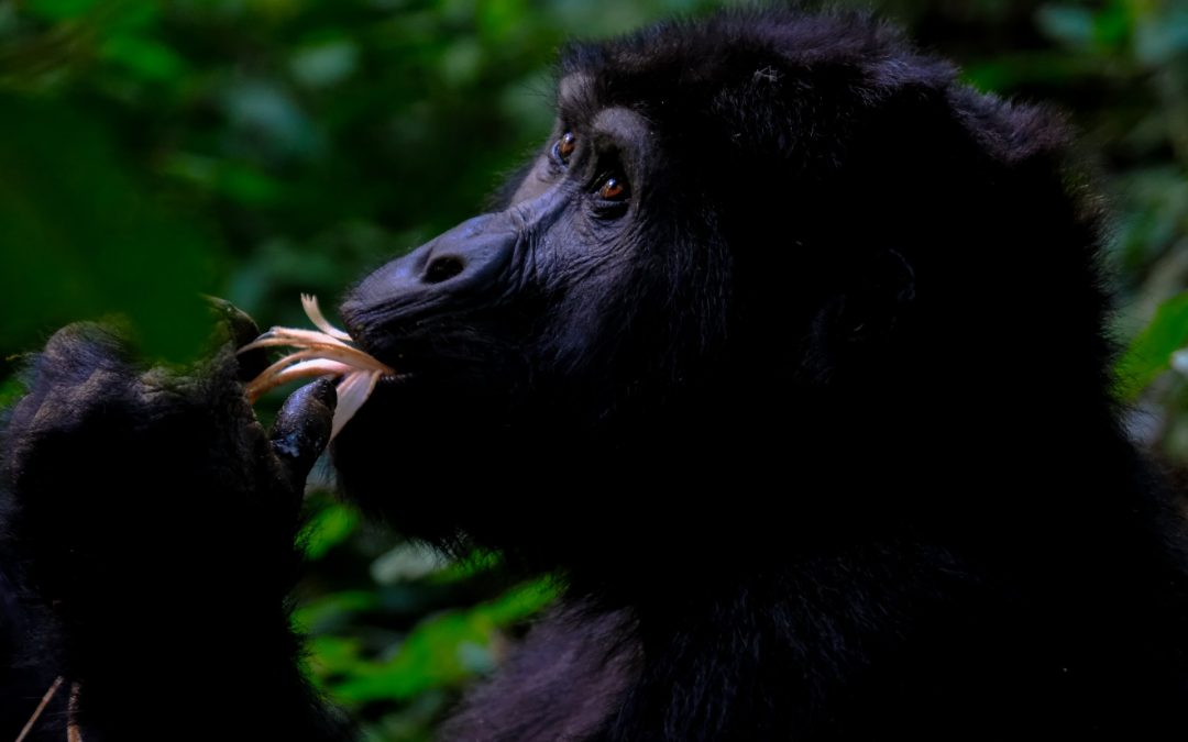 Help prevent logging and save rare gorillas in Cameroon's Ebo Forest