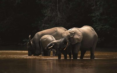 UK and Gabonese experts lead research into impact of climate change on rainforest elephants