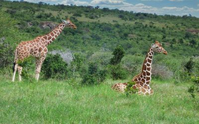 How do giraffes and elephants alter the African Savanna landscape?