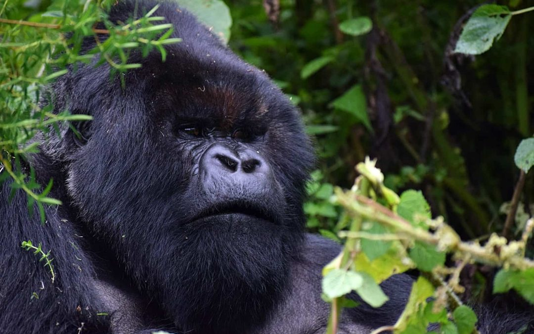 Keep your distance: Selfies, gorilla tourism and the risks of COVID-19 transmission