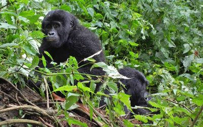 Mitigating Impacts of the COVID-19 Pandemic on Gorilla Conservation: Lessons From Bwindi Impenetrable Forest, Uganda